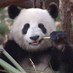 pandaMao